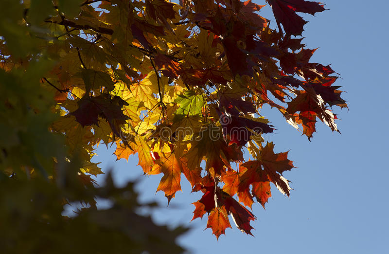 De bladeren van de dalingsesdoorn stock foto's