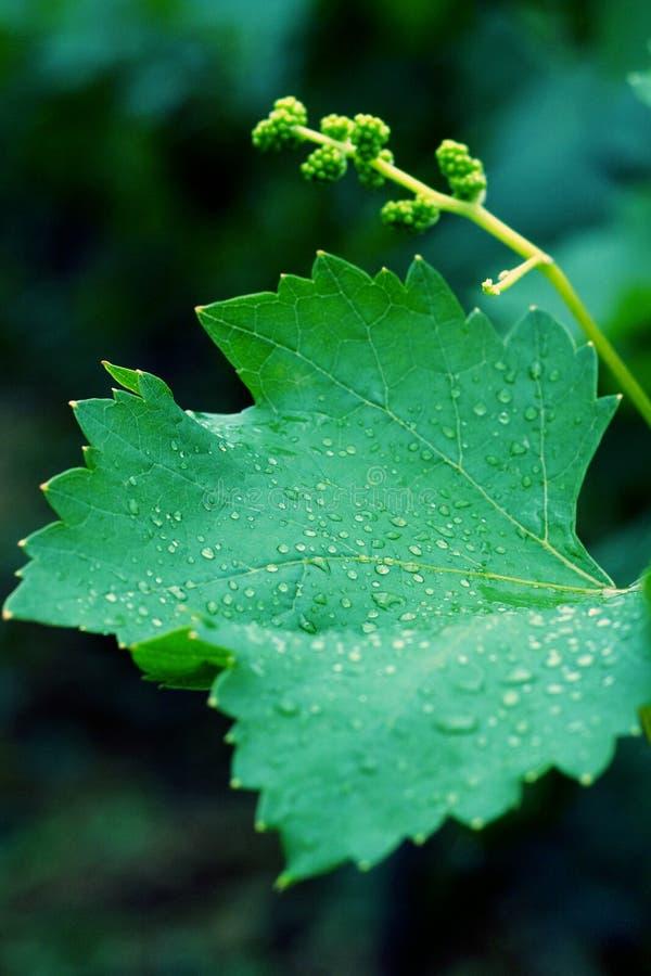 De bladeren van de druif royalty-vrije stock foto