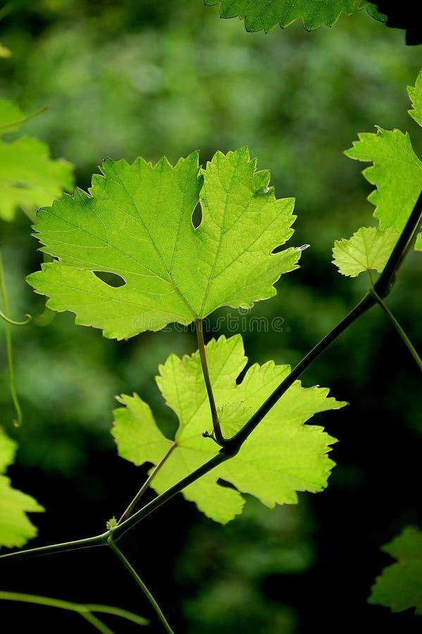 De bladeren van de druif stock foto