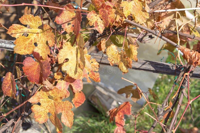 De bladeren van de druif stock afbeeldingen