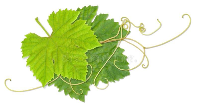 De bladeren van de druif stock illustratie