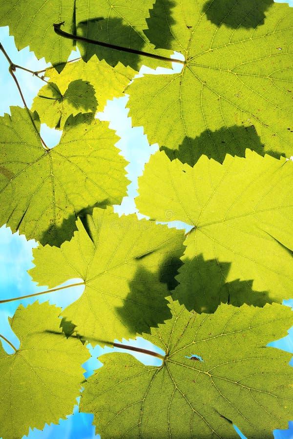 De Bladeren van de druif op de Achtergrond van de Hemel stock foto's