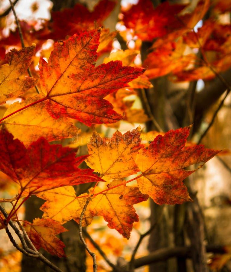 De bladeren van de esdoorn in de herfstbos stock afbeeldingen