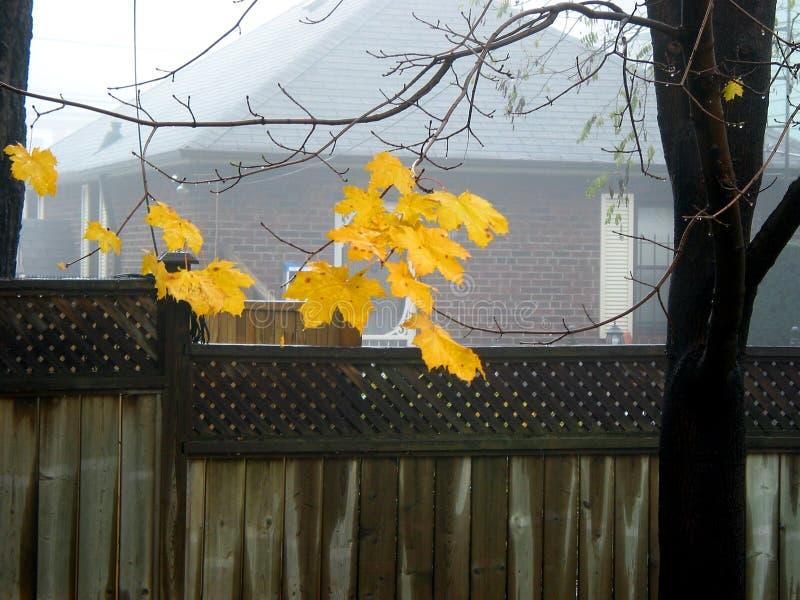 De bladeren van de esdoorn in mist stock fotografie