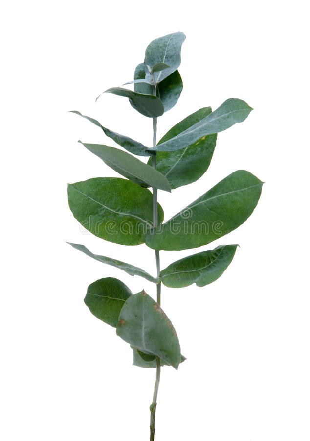 De bladeren van de eucalyptus royalty-vrije stock fotografie