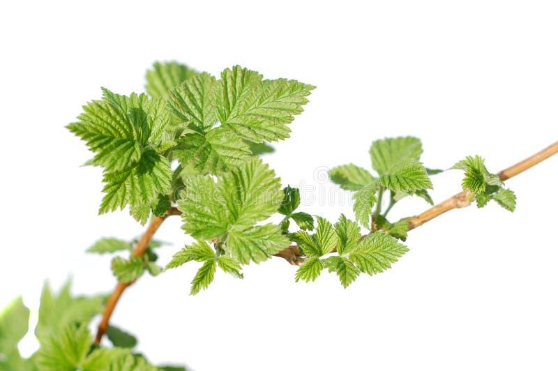 De bladeren van de framboos. stock afbeeldingen