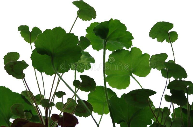 De bladeren van de geranium stock foto's