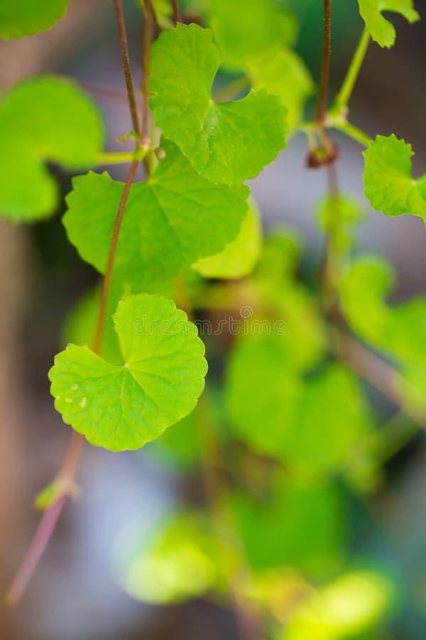 de bladeren van de gotukola royalty-vrije stock afbeelding