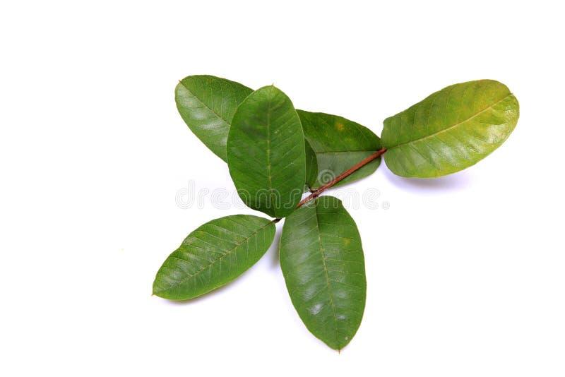 De bladeren van de guave stock foto