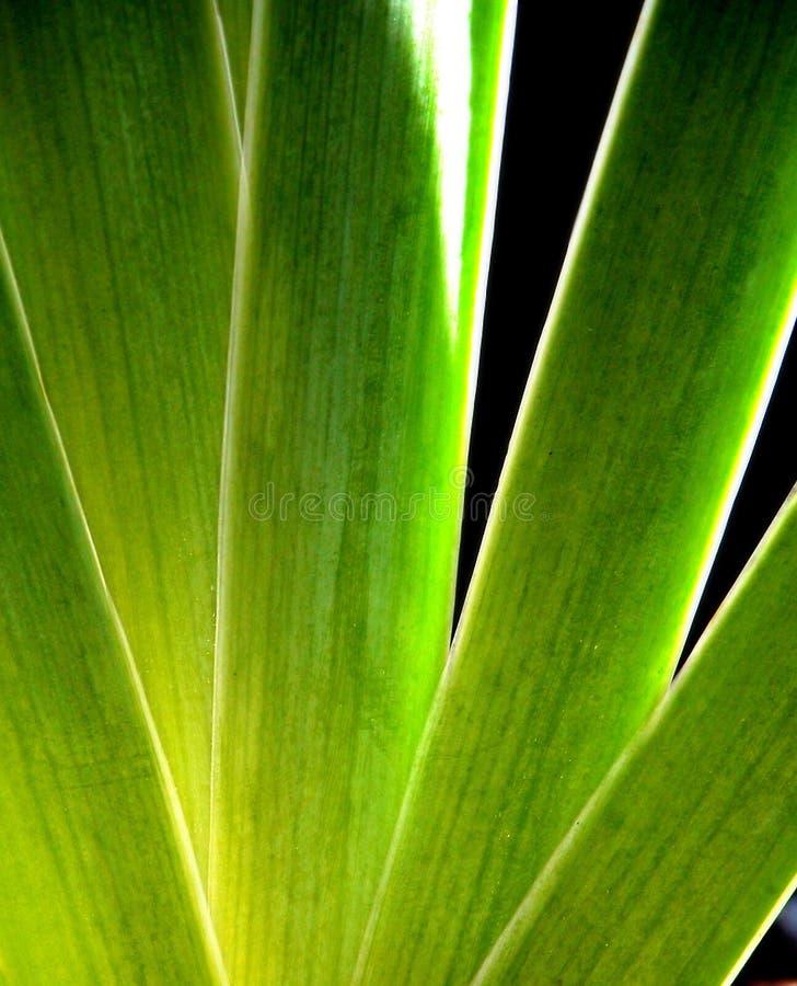 De Bladeren van de iris royalty-vrije stock afbeeldingen