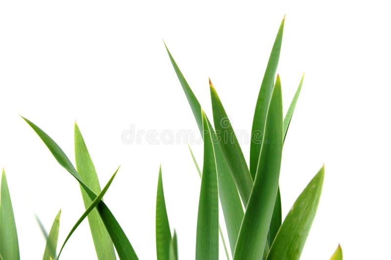 De Bladeren van de iris royalty-vrije stock foto
