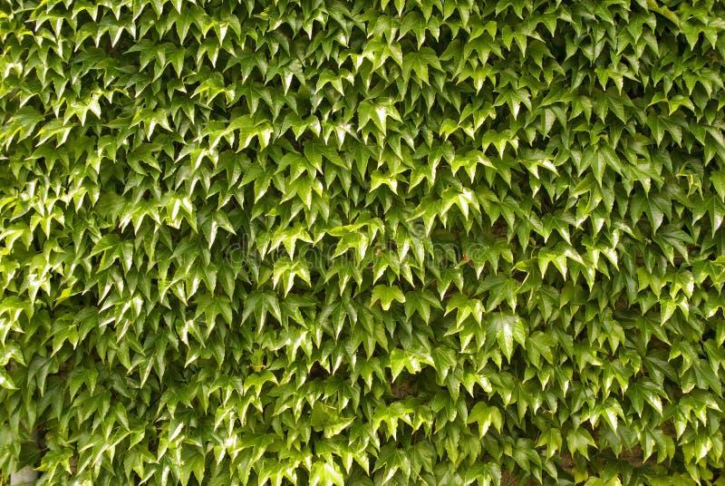 De bladeren van de klimop op muur, achtergrond stock fotografie