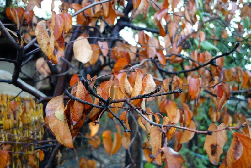 De bladeren van de kweepeerboom stock afbeelding