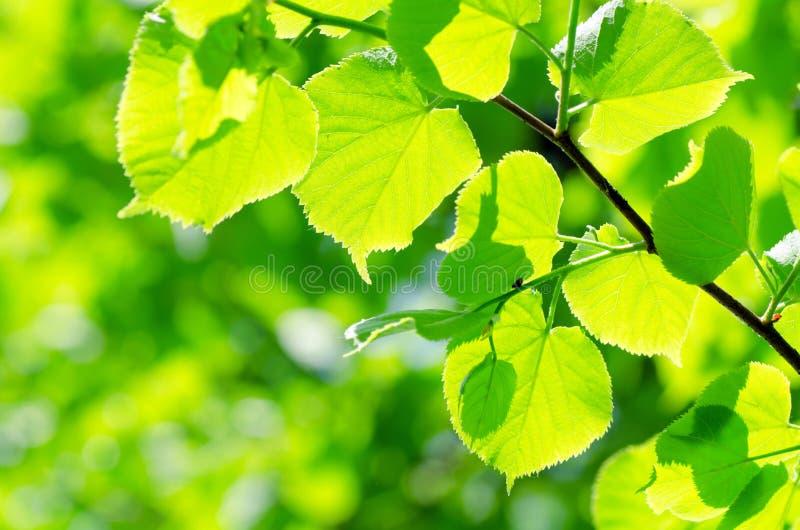 De bladeren van de lente op een boom royalty-vrije stock afbeelding