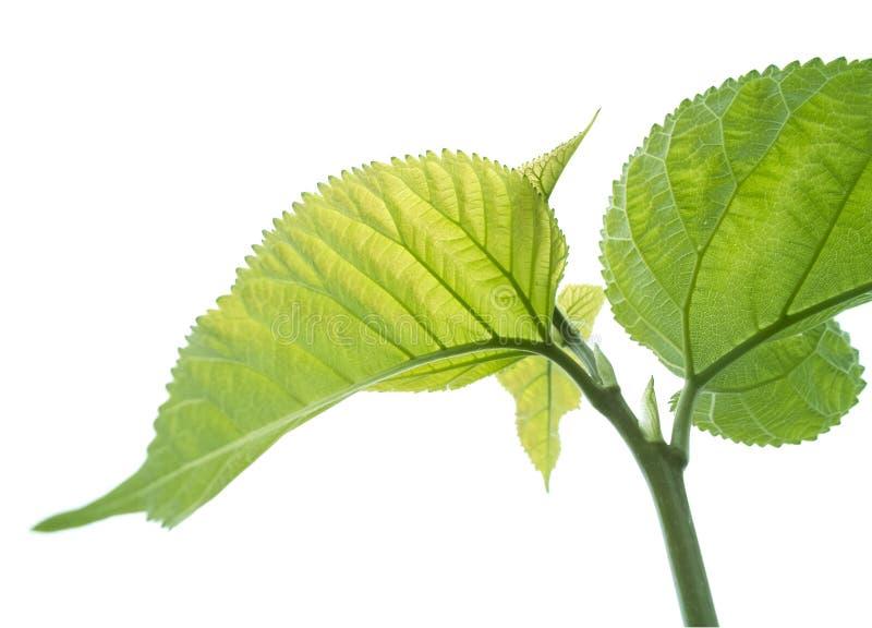 De bladeren van de moerbeiboom stock foto