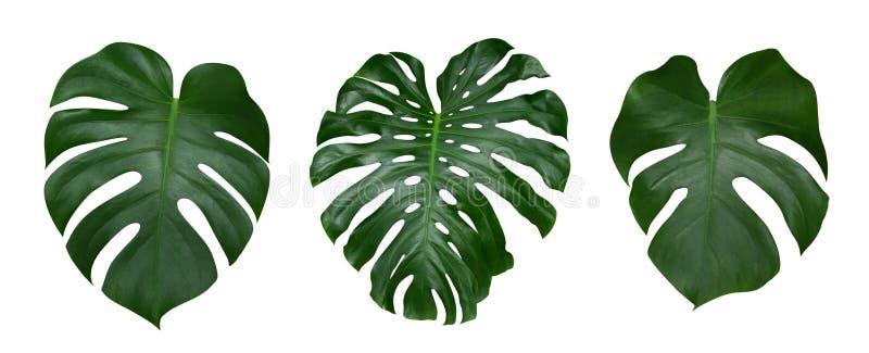 De bladeren van de Monsterainstallatie, de tropische altijdgroene wijnstok die op witte achtergrond, weg wordt geïsoleerd royalty-vrije stock afbeeldingen