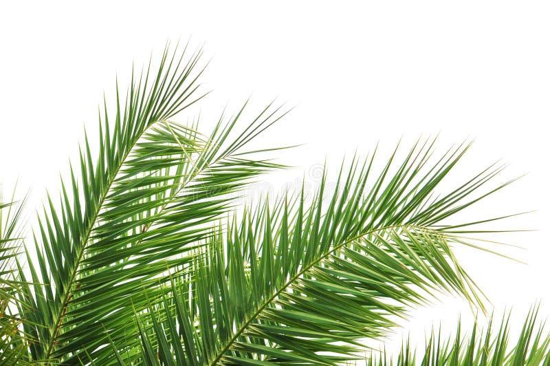 De Bladeren van de palm royalty-vrije stock afbeelding