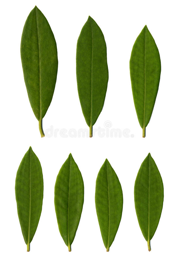 De bladeren van de rododendron royalty-vrije stock foto's