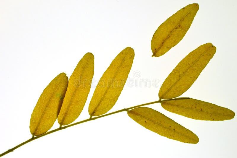 De Bladeren van de sprinkhaan royalty-vrije stock afbeeldingen