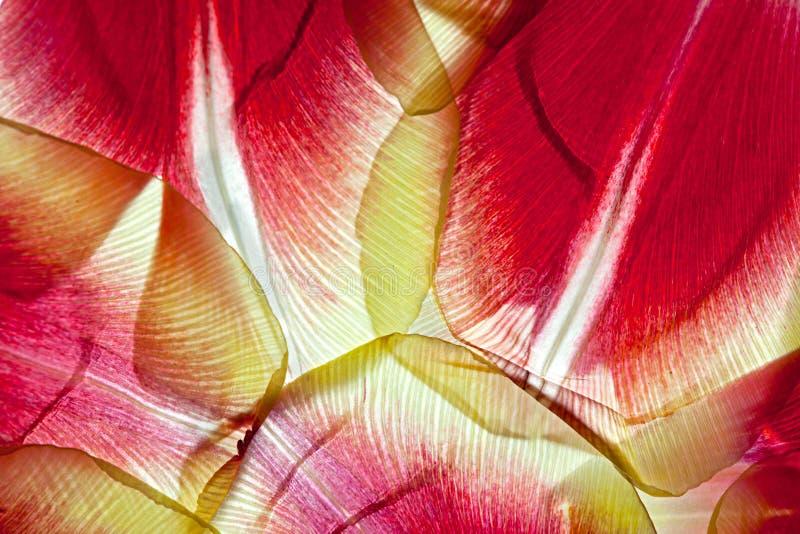 De Bladeren van de tulp stock afbeelding