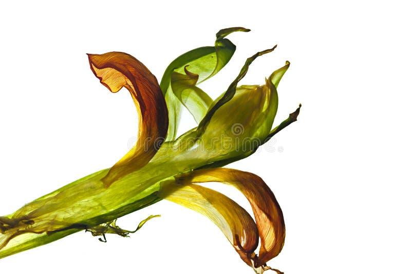 De Bladeren van de tulp royalty-vrije stock afbeeldingen