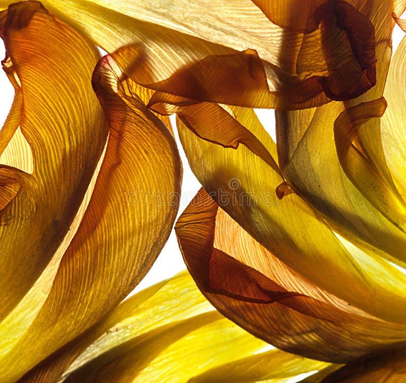 De Bladeren van de tulp stock afbeeldingen