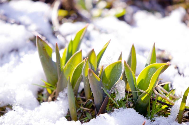 De bladeren van de tulp tussen smeltende sneeuw in de lente stock fotografie