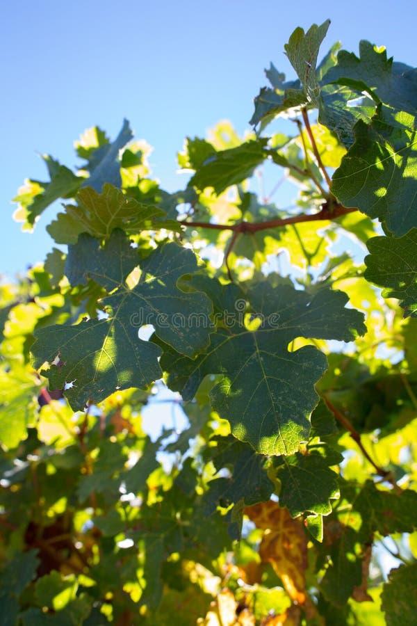 De bladeren van de wijndruif onder een Zonneschijndag in Californië royalty-vrije stock afbeelding
