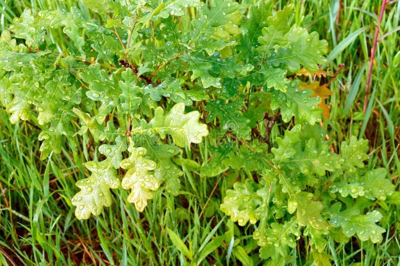 De bladeren van een boom in dauw daalt, jong eiken, groen gras na regen royalty-vrije stock foto