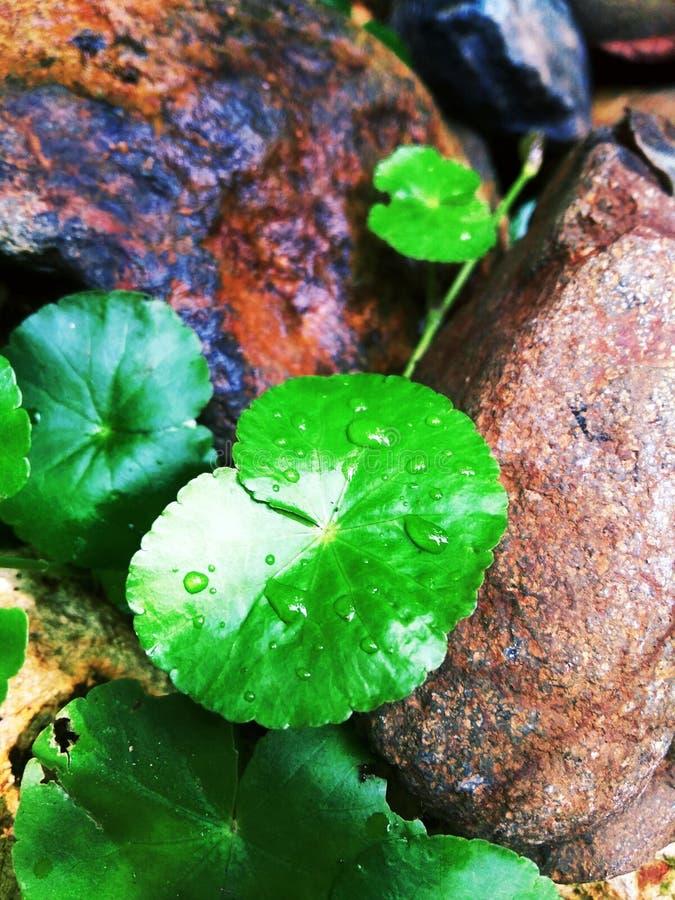De bladeren van de Gotukola groeien in de nasleep van rotsen stock afbeeldingen