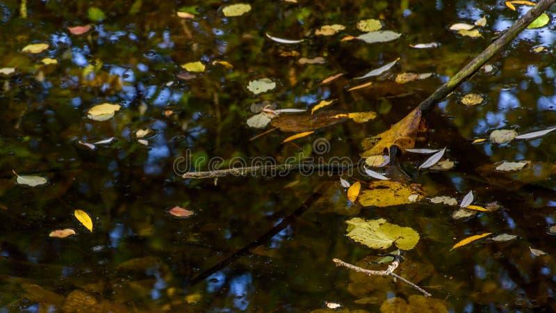 De bladeren van de herfst in een vijver stock foto