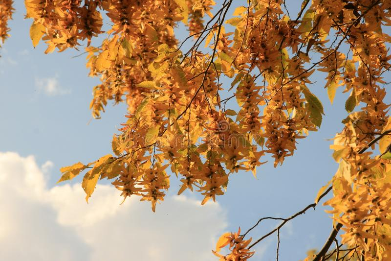 De bladeren van de de herfstbeuk tegen de blauwe hemel royalty-vrije stock foto