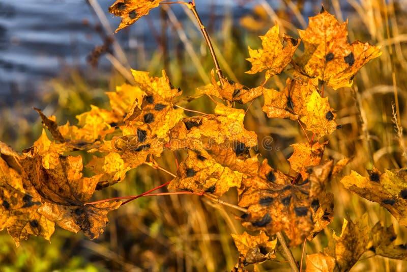 de bladeren van de de herfstesdoorn met vlekken royalty-vrije stock foto's