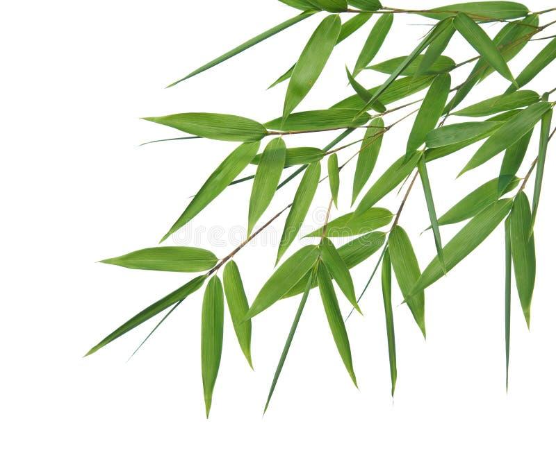 De bladeren van het bamboe stock fotografie