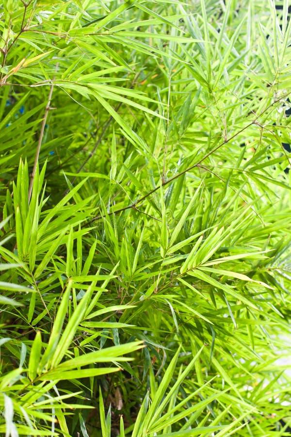 De bladeren van het bamboe in de tuin royalty-vrije stock foto's