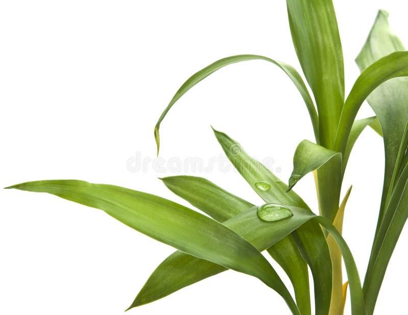 De bladeren van het bamboe die op wit worden geïsoleerdv stock afbeelding