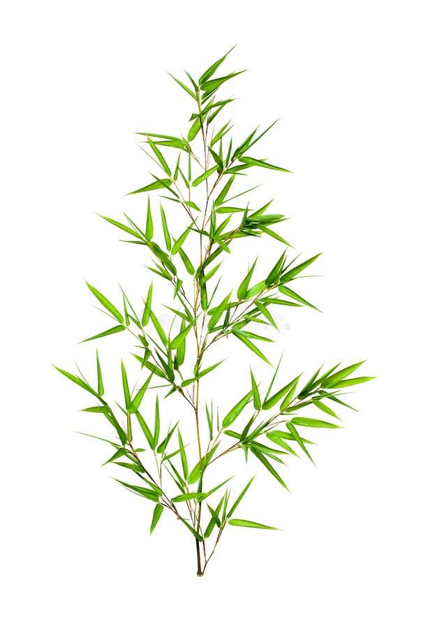 De bladeren van het bamboe die op witte achtergrond worden geïsoleerds stock fotografie