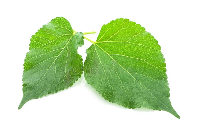 De bladeren van het moerbeiboomfruit op witte achtergrond worden geïsoleerd die royalty-vrije stock foto's