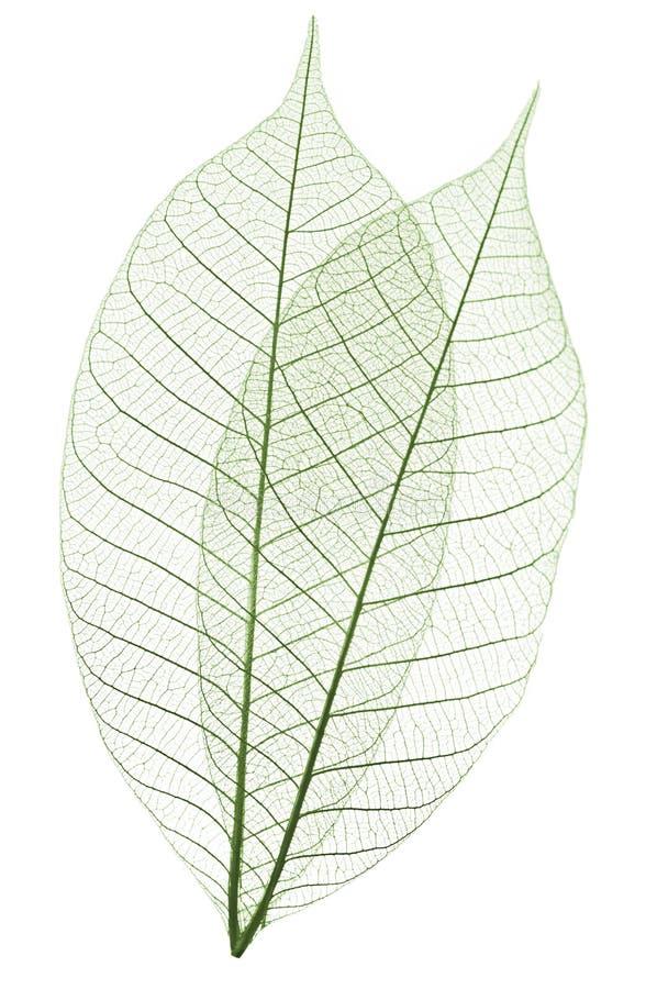 De bladeren van het skelet stock foto