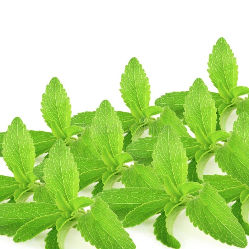 De bladeren van het substituutkruiden van de Steviasuiker op zuivere witte achtergrond royalty-vrije stock fotografie