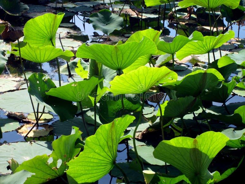 De bladeren van het vijveronkruid achter aangestoken door zon royalty-vrije stock foto