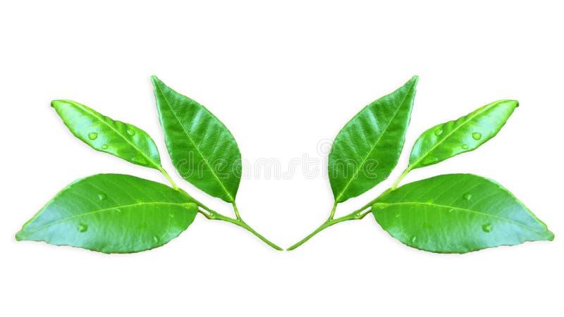 De bladeren van de Kaffirkalk isoleren op Witte Achtergrond royalty-vrije stock afbeelding