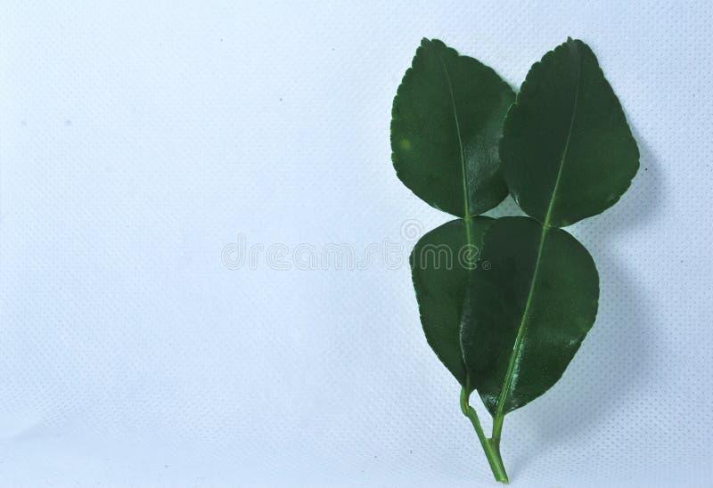 De bladeren van de Kaffirkalk op een witte achtergrond stock foto