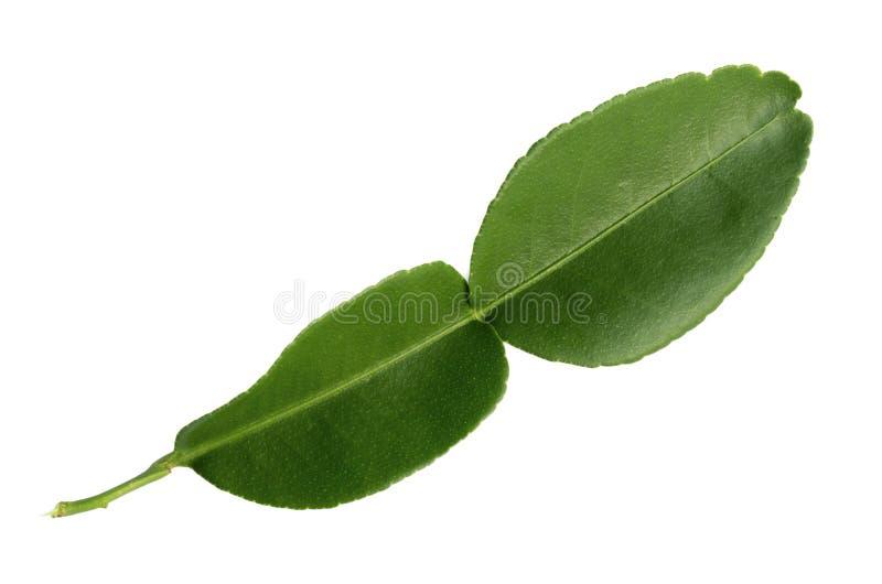 De bladeren van de Kaffirkalk op een witte achtergrond worden ge?soleerd die stock foto