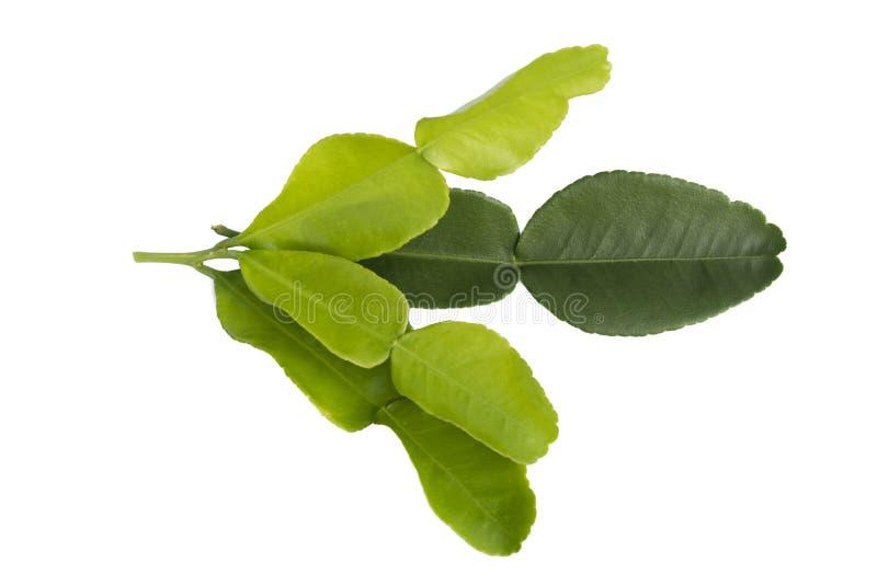 De bladeren van de Kaffirkalk op een witte achtergrond worden ge?soleerd die stock foto's
