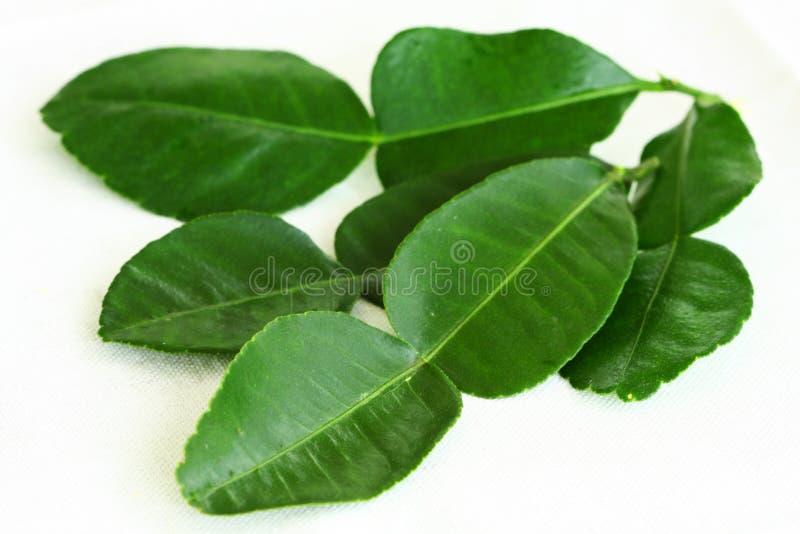 De bladeren van de Kaffirkalk op witte achtergrond stock afbeelding