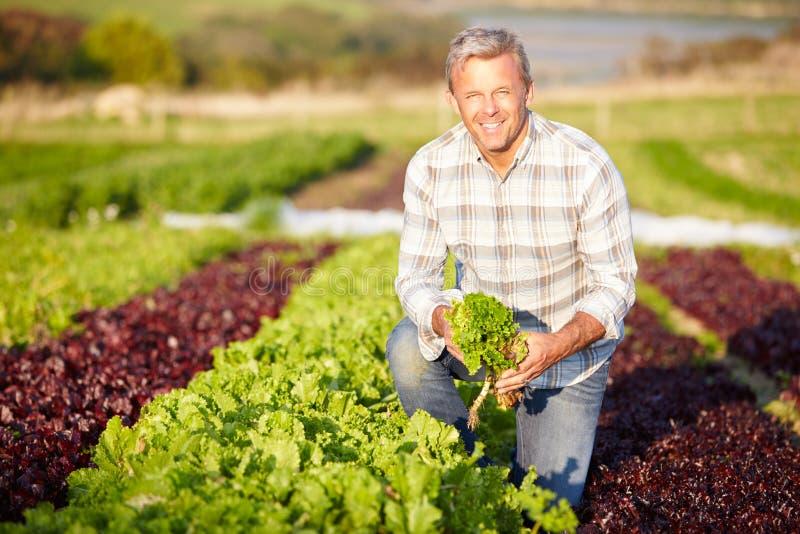 De Bladeren van landbouwersharvesting organic salad op Landbouwbedrijf royalty-vrije stock afbeelding
