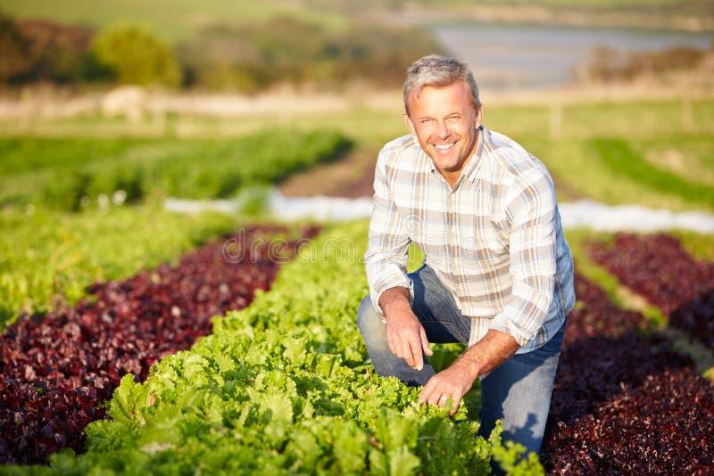 De Bladeren van landbouwersharvesting organic salad op Landbouwbedrijf royalty-vrije stock foto's