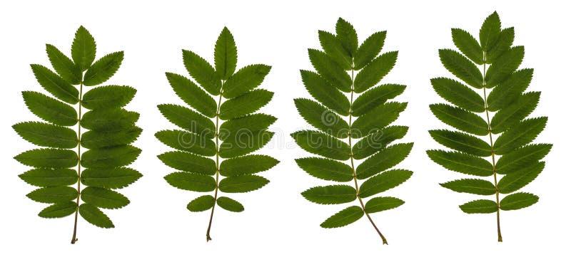 De bladeren van lijsterbes, rode as, Sorbus-aucuparia, de Lijsterbessenreeks bladeren, samenstellingsbladeren, gaat op een witte  royalty-vrije stock fotografie