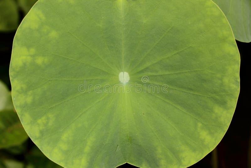 De bladeren van Lotus royalty-vrije stock foto's